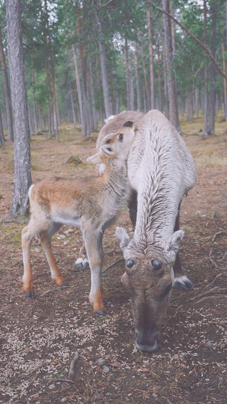 A mother and baby reindeer