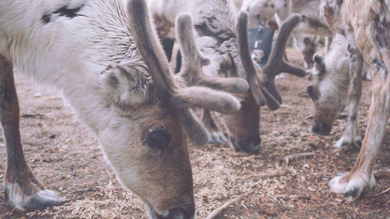 Reindeer eating